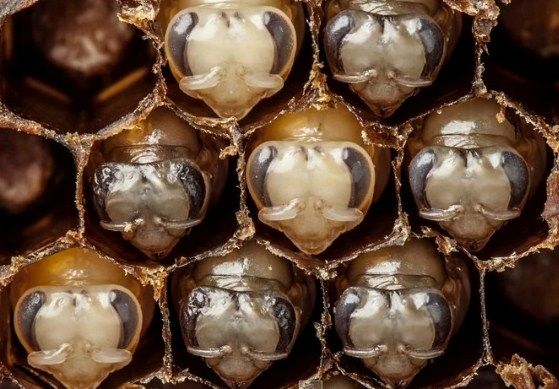 La metamorfosis de las abejas obreras (video)